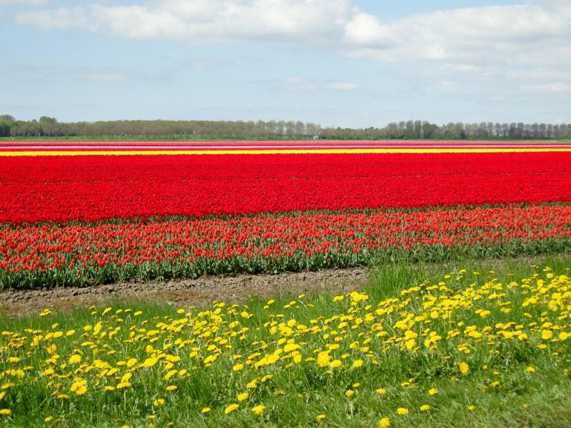 Bollenvelden in de polder, verblijfplaats voor gele kwikstaarten. Foto gemaakt door Marius Bouscholte.